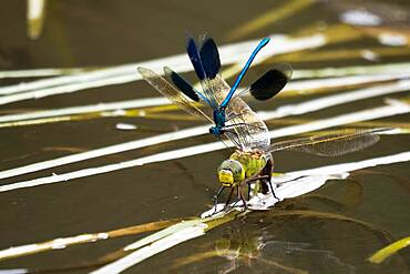 Southern Hawker (Aeshna cyanea), female, laying eggs, attacked by banded damselfly Banded demoiselle (calopteryx splendens), male, Hesse, Germany, Europe