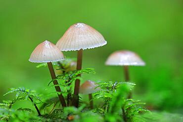 Milking bonnet (Mycena galopus), forest, autumn, Langenhart, Upper Danube nature Park, Baden-Wuerttemberg, Germany, Europe