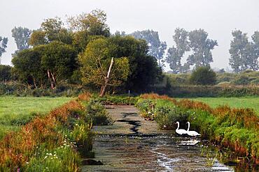 Grassland in the Droemling, swans in the drainage ditch, Olor, lowland moor, lowland area, biosphere reserve, nature reserve, Kolonnenweg, Lochplattenweg, inner-German border installation, Gruenes Band, border path, near Oebisfelde, Boerde District