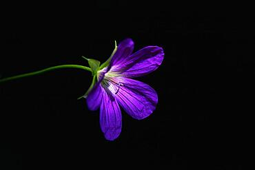 Wild geranium, Geranium maculatum, violet flower on black background, still life photography, Poland, Europe