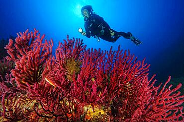 Diver looking at colour-changing gorgonian (Paramuricea clavata), Mediterranean Sea, Sardinia, Italy, Europe
