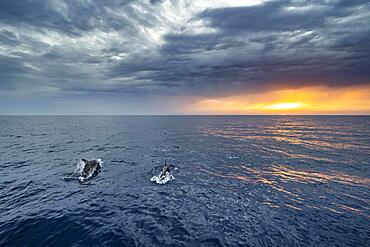 Two dolphins in the sea, view over the open sea to the setting sun, dramatic cloudy sky at sunset, Rhodes, Dodecanese, Greece, Europe