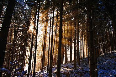 Sunbeams in the winter forest, Schwangau, Bavarian-Swabian district Ostallgaeu, near Neuschwanstein Castle, Bavaria, Germany, Europe