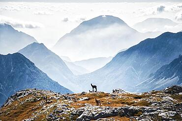 Chamois (Rupicapra rupicapra) and mountain landscape above clouds at Rosskofel, called Monte Cavallo di Pontebba, is located in the west of the ski area Nassfeld and is a karst mountain, Austria, Europe