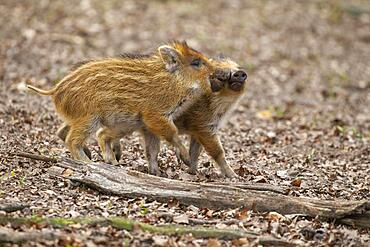 Young Wild boars (Sus scrofa) playfully measure their strength, wild boar, young boars, Germany, Europe