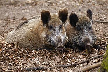 Wild boars (Sus scrofa), wild boar, Germany, Europe