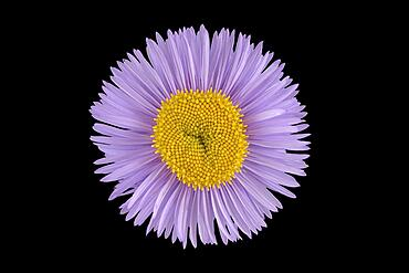 Gorgeous professional weed (Erigeron speciosus) Aspen professional weed, flower, North America, Germany, Europe