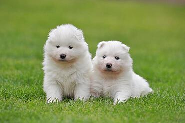 Samoyed Domestic dog (Canis lupus familiaris), two puppies sitting in the grass, Rhineland-Palatinate, Germany, Europe