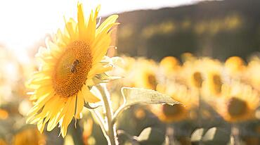 Close up of a Bee on a sunflower in the field