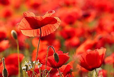 Poppy flowers (Papaver rhoeas), Hesse, Germany, Europe