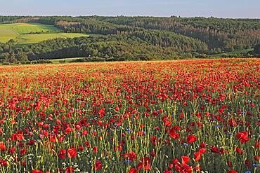 Fallow field with poppy flowers (Papaver rhoeas) and Cornflower (Centaurea cyanus), Taunus, Hesse, Germany, Europe