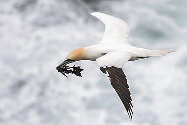 Flying Northern gannet (Morus bassanus) with material for nest building, Skouvikurbjarg, Langanes Peninsula, Norourland eystra, Iceland, Europe