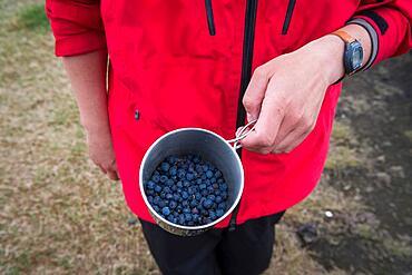 Tourist holding cup of European blueberry (Vaccinium myrtillus), Iceland, Europe