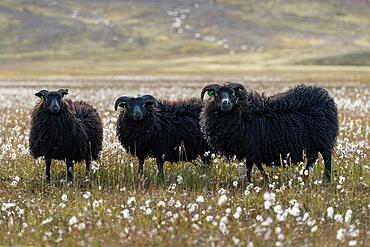 Black Domestic sheep (Ovis aries) Woolgrass, Landmannalaugar, Icelandic highlands, Iceland, Europe