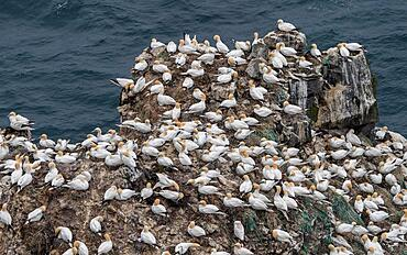Gannet colony, Northern gannet (Morus bassanus), rock needle Stori Karl, Skouvikurbjarg, Langanes Peninsula, Norourland eystra, Iceland, Europe