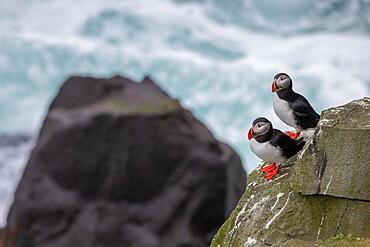 Puffin (Fratercula arctica) on a cliff above the sea, Skoruvikurbjarg bird cliff, Langanes Peninsula, Norourland eystra, Iceland, Europe
