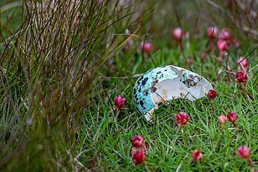 Eggshell, Guillemot (Uria aalge), Skoruvikurbjarg bird cliff, Langanes Peninsula, Norourland eystra, Iceland, Europe