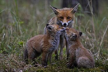 Red fox (Vulpes vulpes), fawn with cubs, Lusatia, Saxony, Germany, Europe