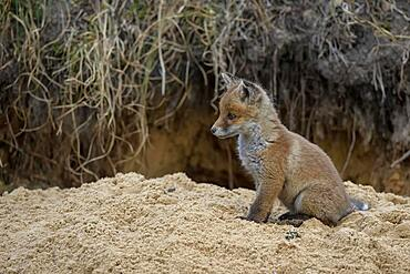 Red fox (Vulpes vulpes), pup in front of its den, Lusatia, Saxony, Germany, Europe