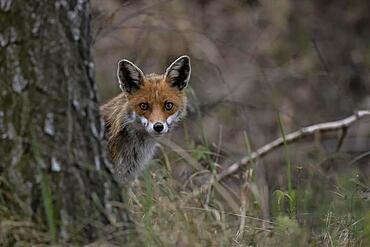 Red fox (Vulpes fulpes), Lusatia, Saxony, Germany, Europe