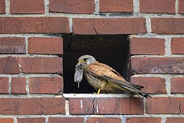 Common kestrel (Falco tinnunculus) with prey, Muensterland, North Rhine-Westphalia, Germany, Europe