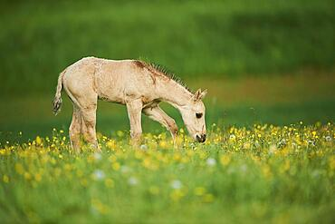American Quarter Horse foal on a meadow, Bavaria, Germany, Europe