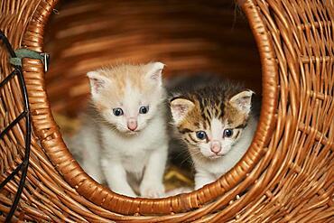 Domestic cat (Felis catus) kitten, Bavaria, Germany, Europe