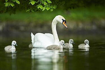Mute swan (Cygnus olor), mother with hers swimming on a lake, Bavaria, Germany, Europe