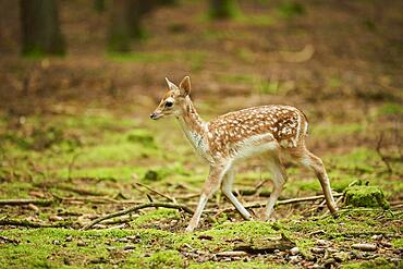 European fallow deer (Dama dama) or common fallow deer youngster in a forest, Bavaria, Germany, Europe