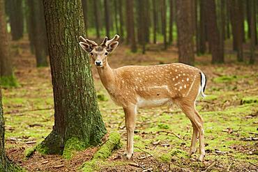 European fallow deer (Dama dama) or common fallow deer in a forest, Bavaria, Germany, Europe
