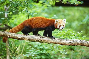 Wed panda (Ailurus fulgens), walking on a lying tree, captive, Bavaria, Germany, Europe