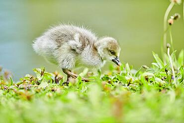 Greater white-fronted goose (Anser albifrons) chick on a meadow, Bavaria, Germany, Europe