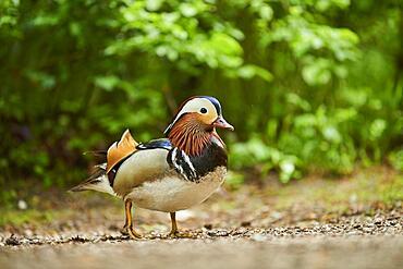 Mandarin duck (Aix galericulata) male, Bavaria, Germany, Europe