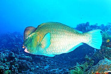 Indian humphead parrotfish (Chlorurus strongylocephalus), Indian Ocean, Bali, Indonesia, Asia