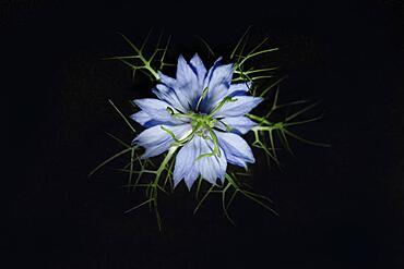 The flower of a love-in-a-mist (Nigella damascena cv.), studio shot against black background