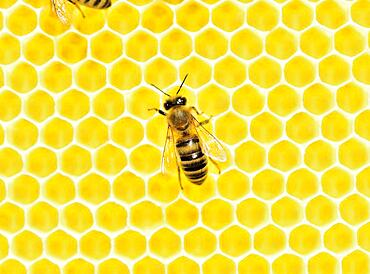 Honey bee (Apis mellifera) on freshly removed honeycomb, Rosenheim, Bavaria, Germany, Europe