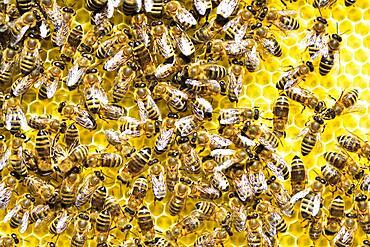 Honey bees (Apis mellifera) on freshly removed honeycomb, Rosenheim, Bavaria, Germany, Europe