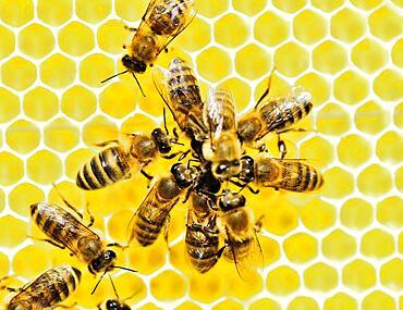 Honey bees (Apis mellifera) on fresh honeycomb feeding each other, Rosenheim, Bavaria Germany