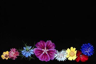Various colourful flowers of meadow flowers lie in a row, Cornflower (Cyanus segetum), maiden in the green (Nigelaa amascena cv.), Petunia x atkinsiana (Petunia x Hybrida) (snapdragon (Antirrhinum), studio shot against a black background