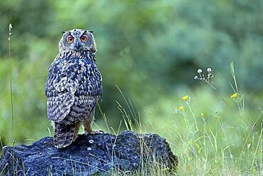 Young Eurasian eagle-owl (Bubo bubo) on a rock, Sauerland, Germany, Europe
