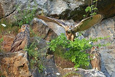 Three young Eurasian eagle-owls (Bubo bubo) in a quarry, Sauerland, Germany, Europe