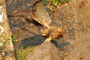 Young Eurasian eagle-owl (Bubo bubo) on a rock threatening a crow, Sauerland, Germany, Europe