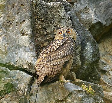 Eurasian eagle-owl (Bubo bubo) in a quarry, Sauerland, Germany, Europe