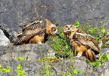 Two young Eurasian eagle-owls (Bubo bubo) in a quarry, Sauerland, Germany, Europe