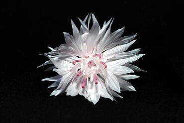 Flower of a cornflower (Centaurea cynanus), studio shot against black background