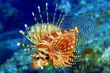 Zebra turkeyfish (Dendrochirus zebra), Andaman Sea, Thailand, Asia