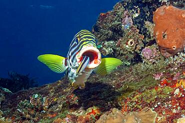 Sweetlips (Gaterin orentalis) opens mouth for Bluestreak cleaner wrasse (Labroides dimidiatus), Indian Ocean, Maldives, Asia