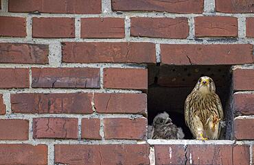 Common kestrel (Falco tinnunculus) female and young bird in front of nest entrance, Muensterland, North Rhine-Westphalia, Germany, Europe