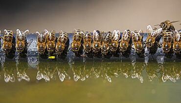 Honey Bees (Apis) drinking, Germany, Europe