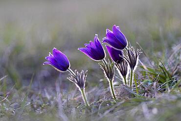 Pasque flower (Pulsatilla vulgaris), NP Eifel, Germany, Europe